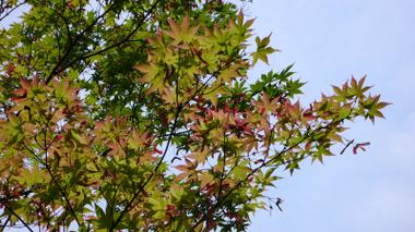 Maple_1