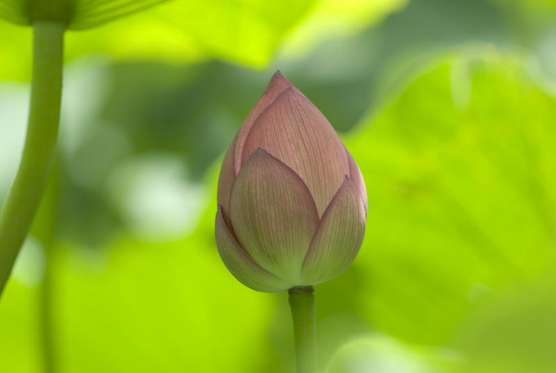 20070716_lotus