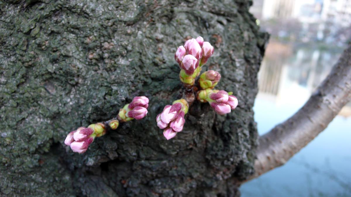 Sakura_0322
