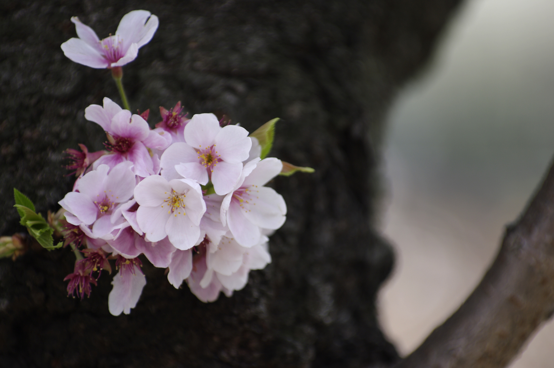 Someiyoshino
