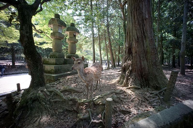 Nara_kasuga_sika_s